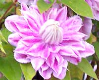 variegated pink and white clematis