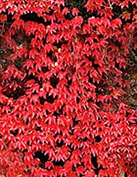Virginia Creeper a fast growing climber with red leaves in autumn