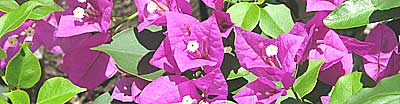 Bougainvillea climber growing in Cuba