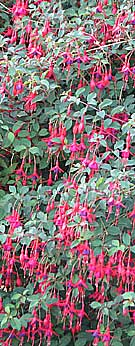 A fuschia bush in flower