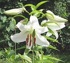 White lilies add perfume to your garden