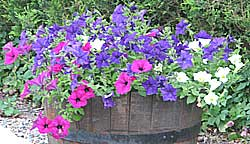 A tub of white, pink and purple petunias