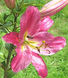pink lily flower in the garden