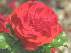 Pruning roses will produce better flowers