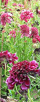 scabious in a flower border