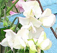 white sweet pea grown from seed