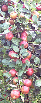 branch of apples ready to pick