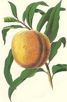 Peaches can be grown in the UK