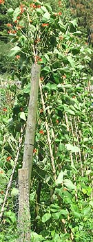 runner beans in a vegetable plot