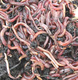 Earthworms improve soil quality in gardens