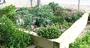 Raised beds can also be used for growing seaside plants
