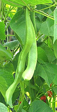 runner beans on an allotment