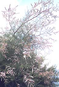 photo of tamarisk tree growing by the sea
