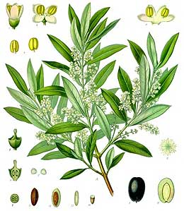 old illustration of olive tree branch and flowers