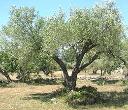 photo: spain has a perfect climate for growing olive trees