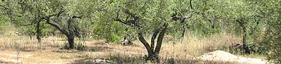 Spanish olive tree grove